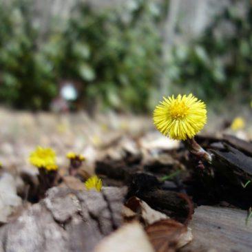 Erste mutige Frühlingsboten