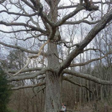 Der älteste und größte Baum auf dem südlichen AT - 300 Jahre