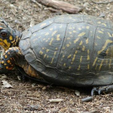 Eine Box Turtle in freier Wildbahn