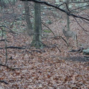 Rehe im Shenandoah National Park