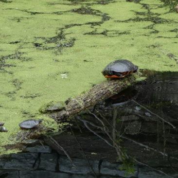 Schildkröten entlang des Potomac River