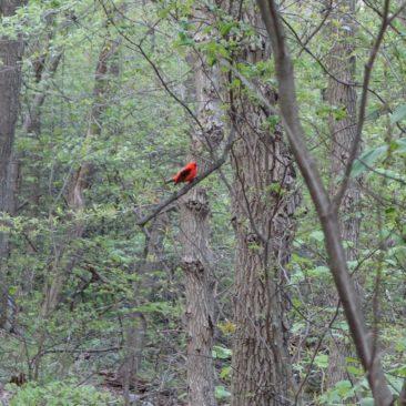 Roter Vogel im Wald