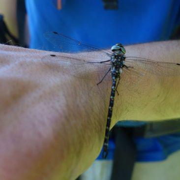 Libelle auf Arm