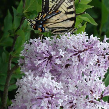 gelber Schmetterling auf rose Blüte - sehr hübsch
