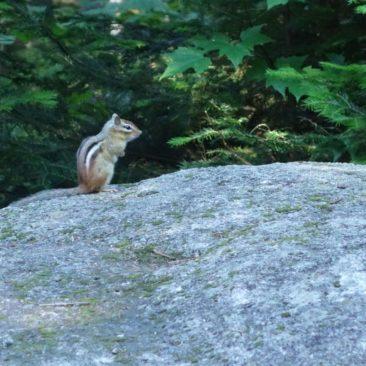 Ein Streifenhörnchen auf Streifzug