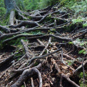 Manchmal sieht man in Maine den Trail vor lauter Wurzeln nicht