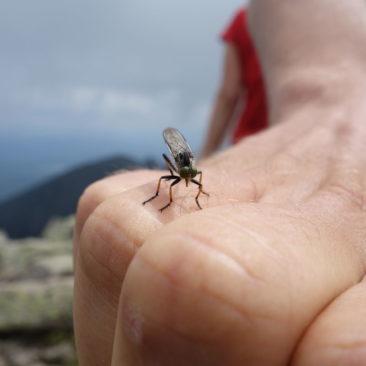 Auch auf Mount Katahdin gibt es Insekten
