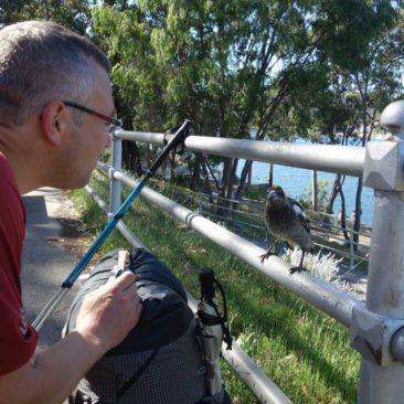 Magpies sind neugierig und frech