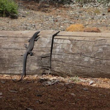 Auch große und kleine Reptilien sieht man oft