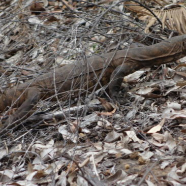 Eine der vielfach vorkommenden Echsen entlang des Bibbulmun Tracks