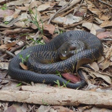 Typische Tiger Snake entlang des Weges