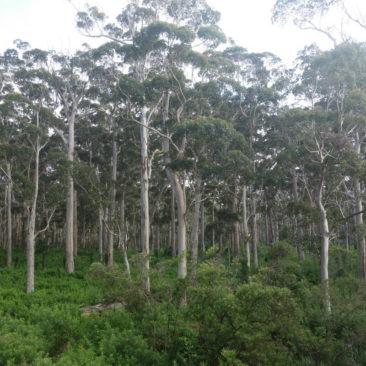Beeindruckende Karri Bäume