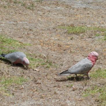 Seltene Kakadus in Walpole