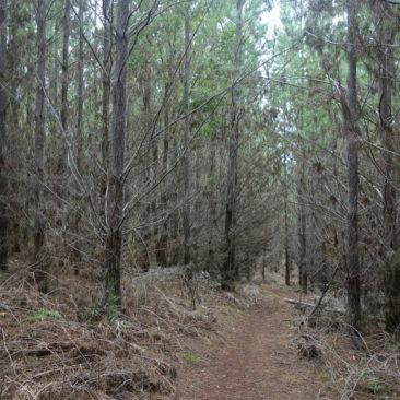 Selten verläuft der Weg wie hier auch mal durch Nadelwald