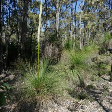 """Die im nördlichen Abschnitt allgegenwärtigen """"Grass Trees"""", hier sogar in Blüte"""