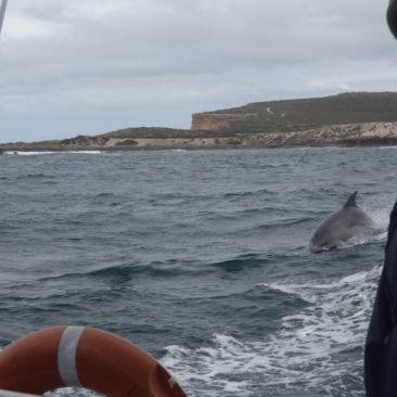 Delphine auf Verfolgungsjagd in der Baird Bay