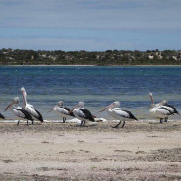 Pelikanparade am Strand von Baird Bay