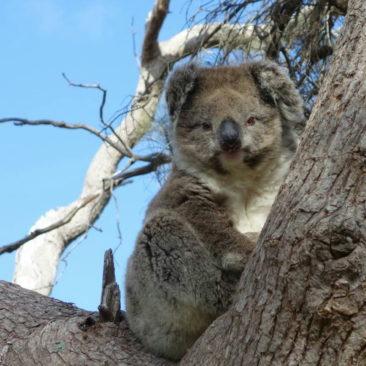 Interessierter Koala auf dem sicheren Baum