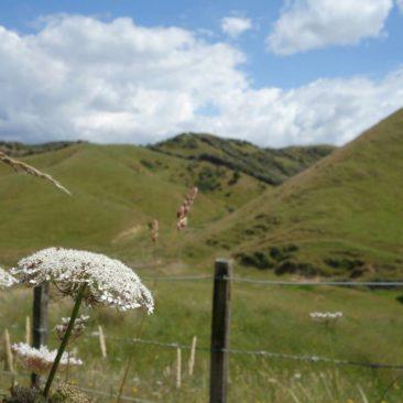 Grüne Hügel und saftige Wiesen -  Neuseelands Nordinsel