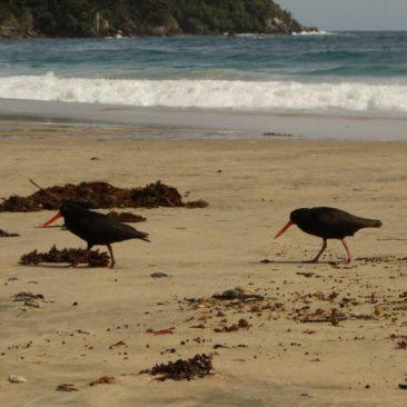 Austernfischer am Strand