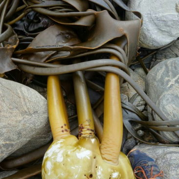 Riesiges Seegrasbüschel am Strand