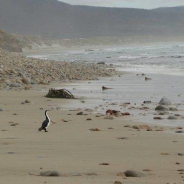 Kormorane am Strand von Mason Bay