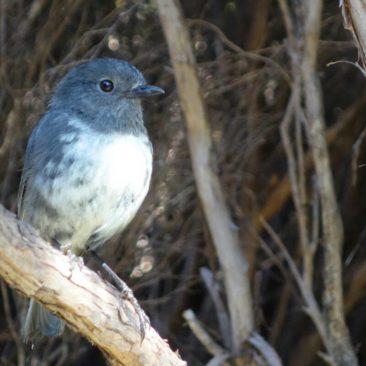Der vom Aussterben bedrohte Stewart Island Robin
