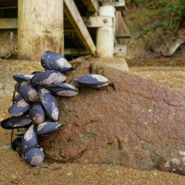 Muscheln am Strand der Fred's Camp Hut