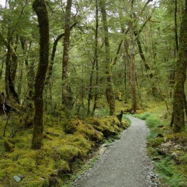 Typisch Great Walk - geschottert, bereinigt und dadurch extrem einfach zu laufen