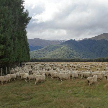 Schafe - vielleicht die eigentlichen Bewohner Neuseelands