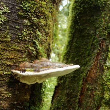 Baumpilz, wie man ihn auch im europäischen Wald findet
