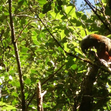 Kaka-Papagei im Baum