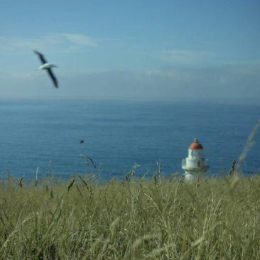 Albatross über dem Leuchtturm der Otago Halbinsel
