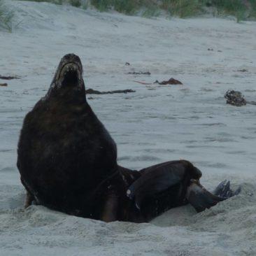 Seelöwe am Strand von Alans Beach