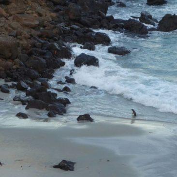 Ein Gelbaugenpinguin watschelt an den Strand von Sandfly Bay
