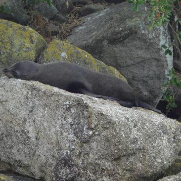 Seelöwenkolonien gibt es so einige im Park