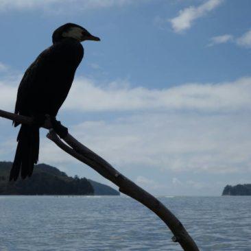 Kormorane sieht man viele entlang der Küste des Abel Tasman National Parks