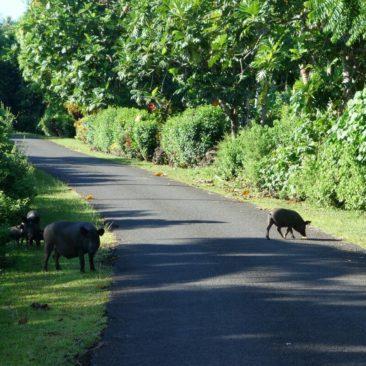 """Schweine sind häufige """"Gäste"""" auf der Straße"""