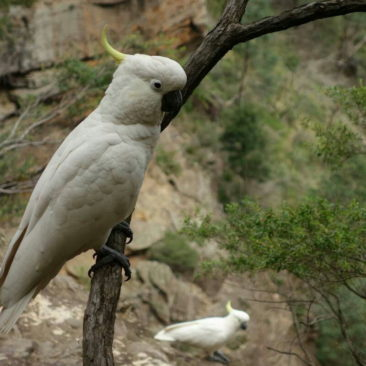 Auch Gelbhaubenkakadus findet man in den Blue Mountains