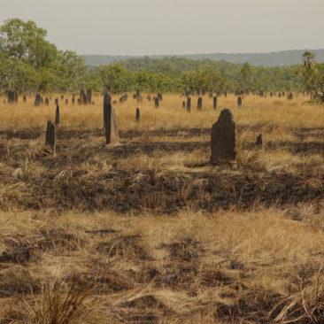 Termitenhügel der sogenannten Magnetic Termites, die streng entlang der Nord-Süd-Achse ausgerichtet sind