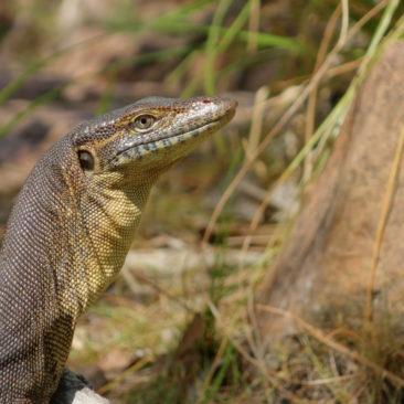 Tierischer Besucher am Buley Rockhole