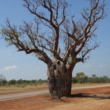 Eindrucksvoller Boab Baum in Nordaustralien