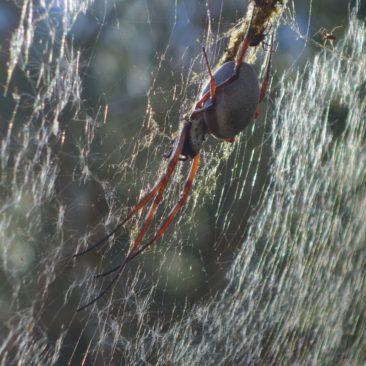 Große Spinne in der Dales Gorge