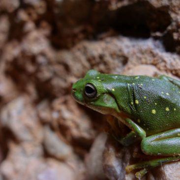 Der fotogene grüne Frosch in Echidna Chasm