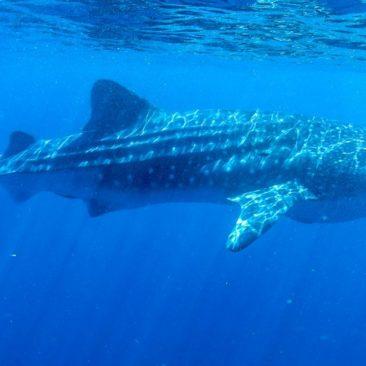 Der erste Walhai