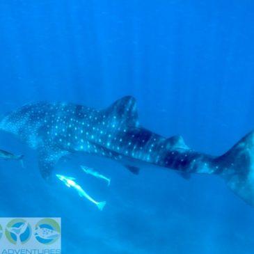 Walhai mit Begleitkolonne