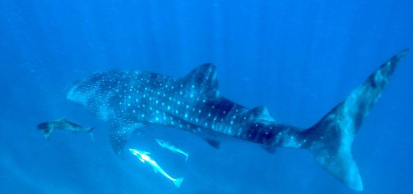 Schwimmen mit Walhai und Rochen in Exmouth