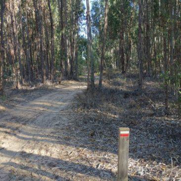 exzellent markiert durch den Eucalyptuswald