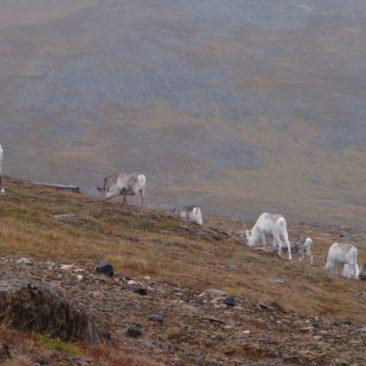 Rentiere kurz vor dem Nordkap